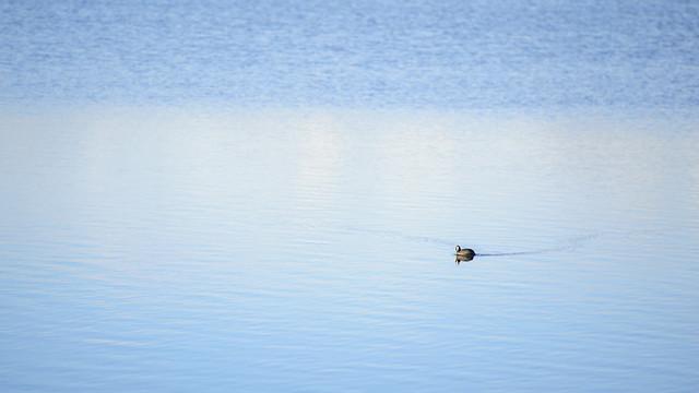 Poule d'eau sur l'étang de Welschhof