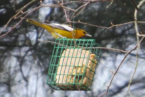 bird feeder rare oriole icterusbullockii