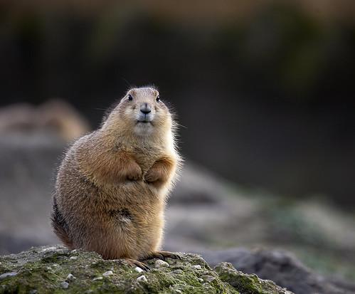 Groundhog | by Hans van der Boom