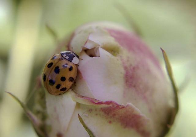 Botão de rosa e a joaninha