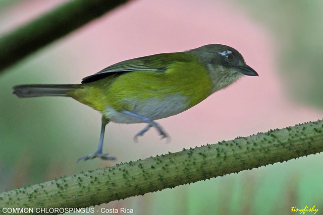 (544a) Common Chlorospingus - [ Monte Verde, Costa Rica ]