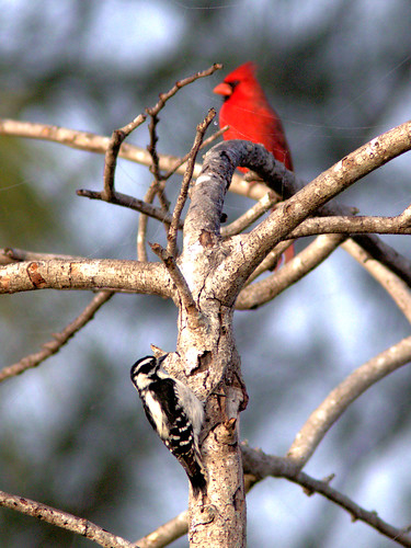 Northern Cardinal and Downy Woodpecker 20170219
