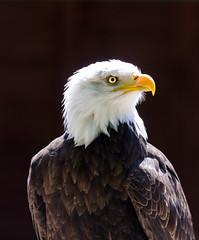 Bald Eagle (Danebury)