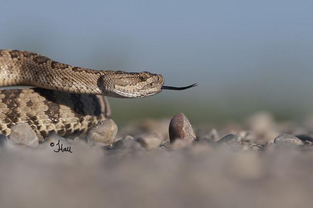 Rattlesnake - JEN0408b+sg