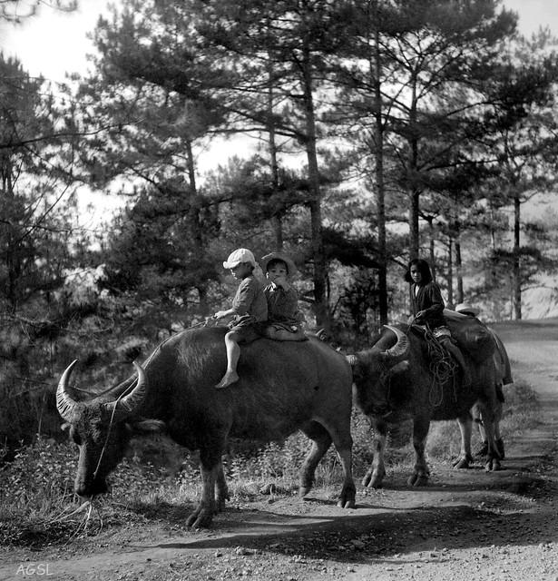 Igorot children riding Carabao along Santa Tomas Road, Baguio, Philippines, Feb. 1, 1935 .jpg