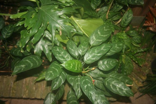 Aglaonema modestum - VU-botanical garden