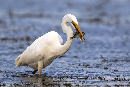 Great Egret With Fish (Ardea alba) | by Bugbait of Seney