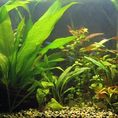 I rescaped my tank a bit last night while doing a water change to accommodate the very fast growth of my ludwigia. The tank is now a lot roomier and my neons seem to be happy because of it. #aquarium #plantedtank #neontetra #aquascape #rescape
