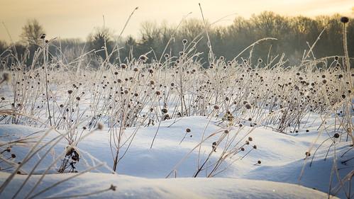 snow sunrise december wildbergamot 2013 prairieplants elmcreekparkreserve prairieplantswinter prairewinterplant
