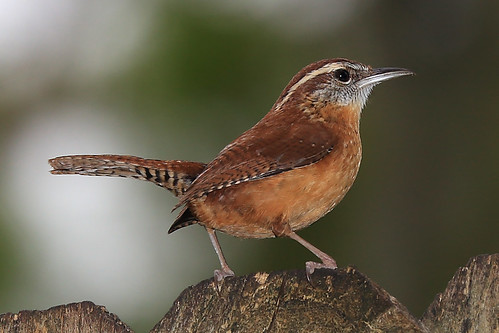 bird tampa backyard village florida carolina fl wren carrollwood 33624