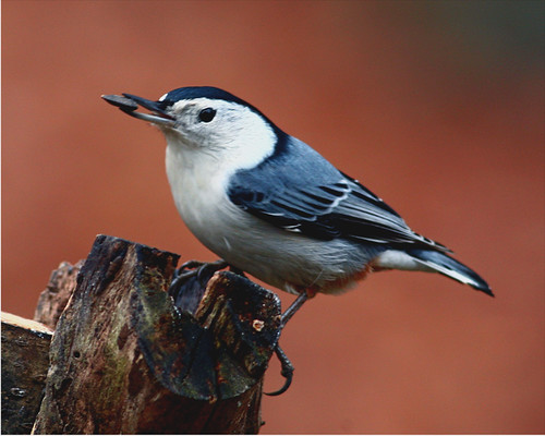 "White-breasted Nuthatch 20 ""Sitta carolinensis "" 