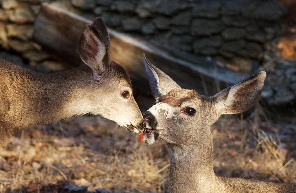 The Greeting | California Mule Deer, Odocoileus hemionus ...