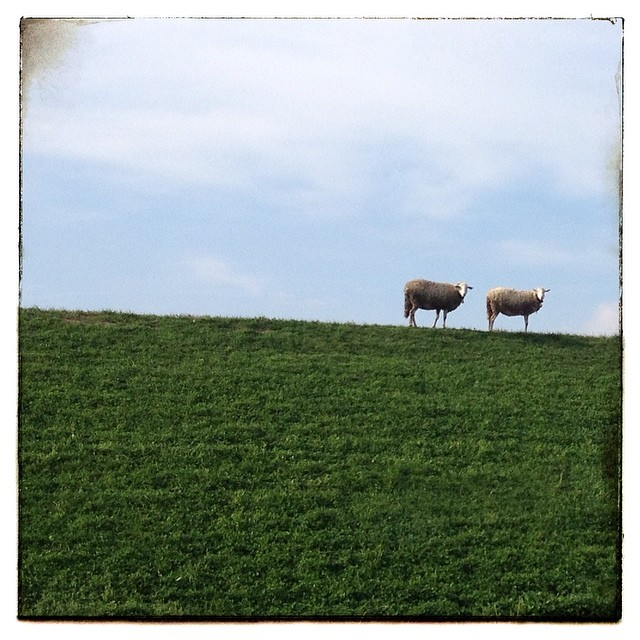 Alle cascine di tavola si incontrano le pecore #cascine #instatuscany #visittuscany #visitprato #tuscanygram #toscana #tuscanyexperience #cascineditavola  #prato #igerstoscana #igersitalia #igersprato #occhidiprato
