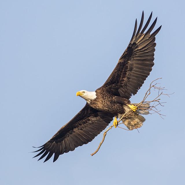 Nest Building Eagle