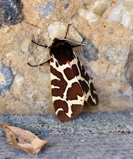 Garden Tiger Moth | by mike_k0_0