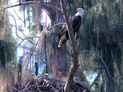 Bald Eagle female and 2 eaglets 20170227