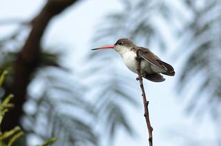 Colibrí Corona Violeta, Violet Crowned Hummingbird, Amazilia violiceps | by Amado Demesa Arévalo