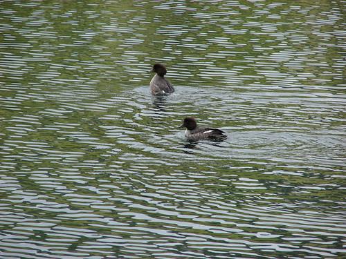 Ducks on Wall Lake