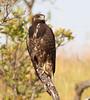 Zone-tailed Hawk 121119 Buteo albonotatus by Langham Birder