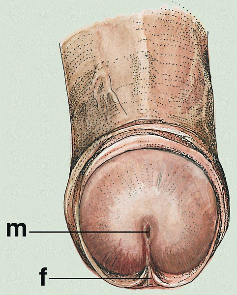 Anatomy of penis | Meatus (m) is vertical cleft attached to
