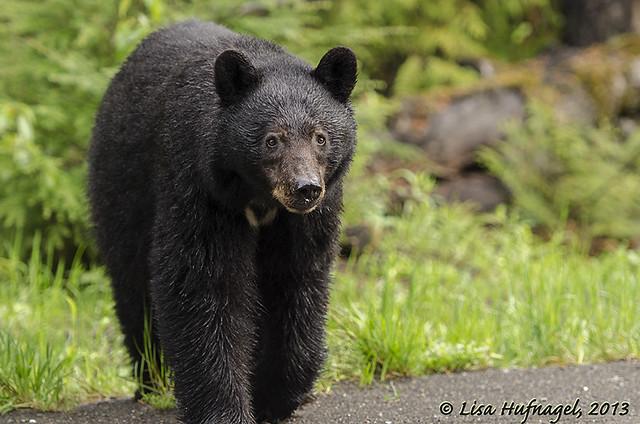 Curious black bear sow...