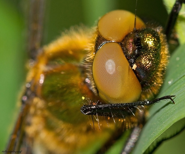 the lenses of a dragonfly