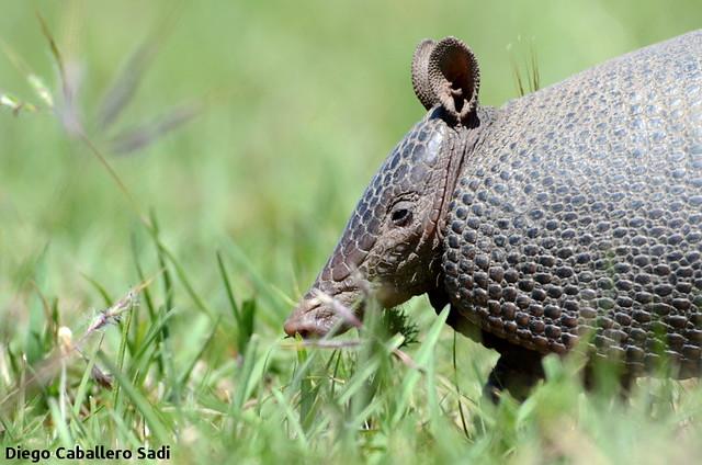Mulita / Southern Long-nosed armadillo (Dasypus hybridus)