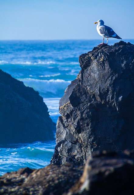 Seagull - Indian Beach, Oregon