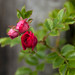 Rose Buds in May
