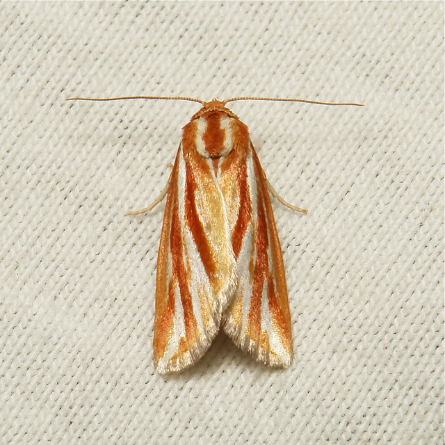 Nolid Moth (Narangodes sp., Chloephorinae, Nolidae)