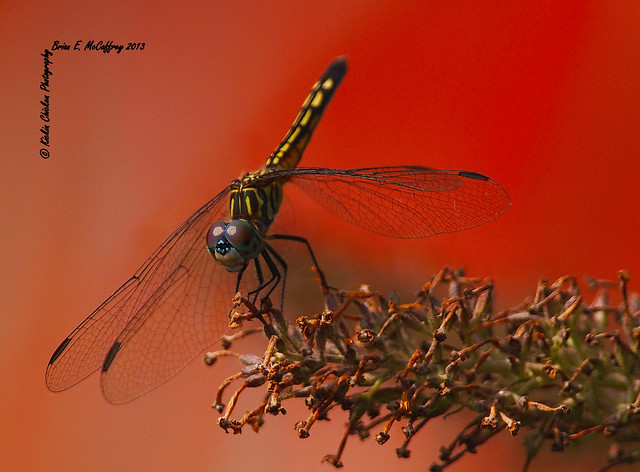 Dragonfly over red mulch