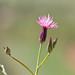 Flickr photo 'Crupina vulgaris BS090513-189' by: Sarah Gregg Petriccione.