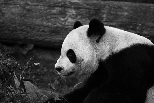 Giant Panda 02 | by cypher40k Photography