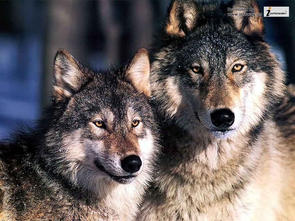 ... wolves wallpaper | by Discover Me!