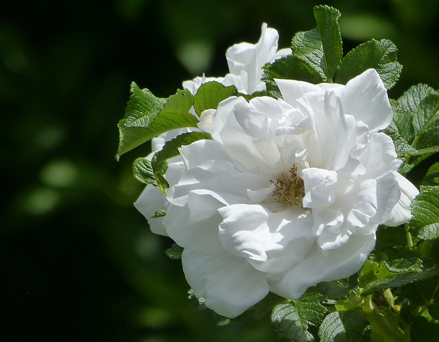 Looking forward to the scent of roses!