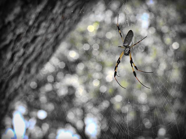 Plantation Spider