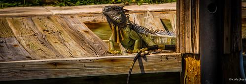 wildlife iguana fortlauderdale ftlauderdale greeniguana tedsphotos