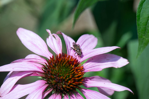 01799 Fly on Purple Coneflower | by rockerBOO
