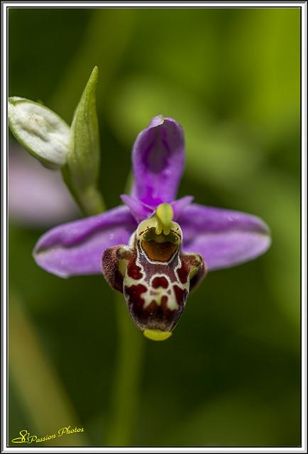 ophrys bourdon (1)