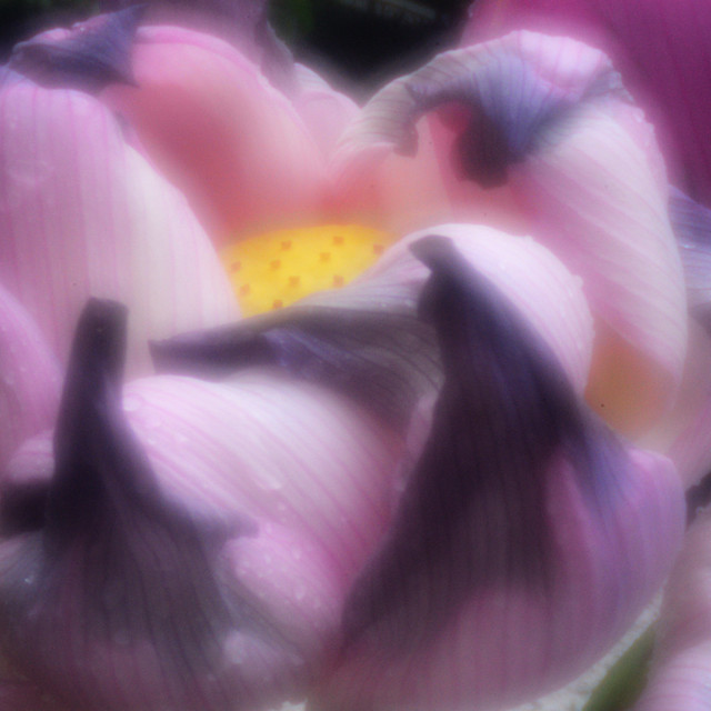 Lotus Flower (pinhole photo)