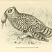 Flickr photo 'Plate VII. Short-eared Owl (Asio accipitrinus), male.' by: The Ernst Mayr Library.