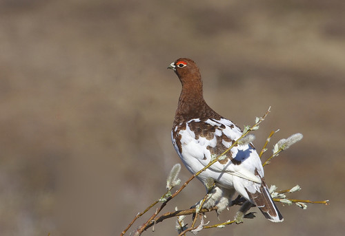 "Willow Ptarmigan (Lagopus lagopus) | by Gregory ""Slobirdr"" Smith"