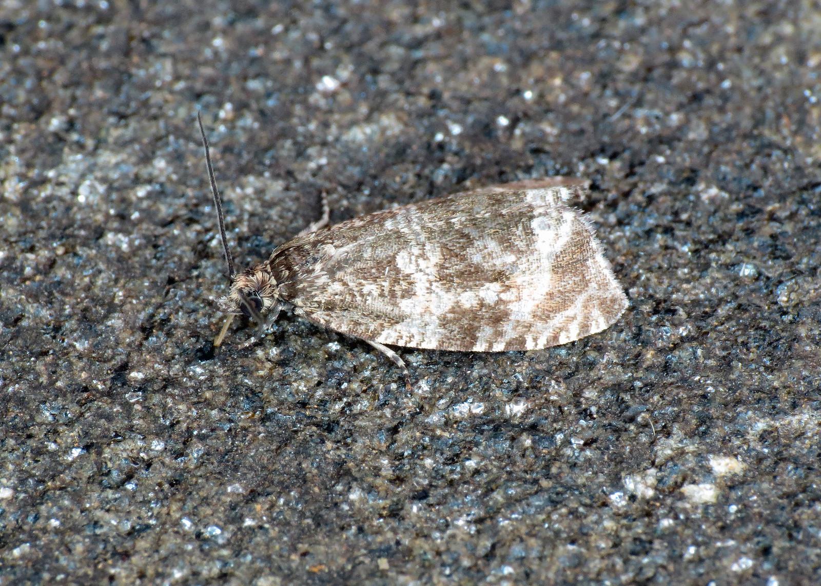 1076 Celypha lacunana