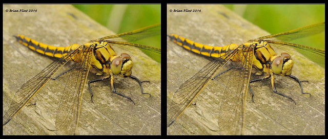 Black-tailed Skimmer - 3d cross-view