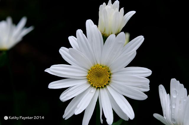 Daisy Salute
