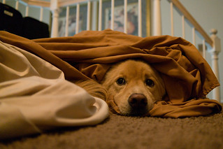 Damien the Dog Under Covers   by nan palmero