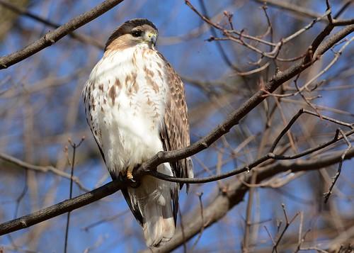 gorgeous birds birdsofprey raptors hawks hawkredtailed redtailedhawk nikon nikond7100 tamronsp150600mmf563divc jdawildlife johnny portrait whatbirdbestofday
