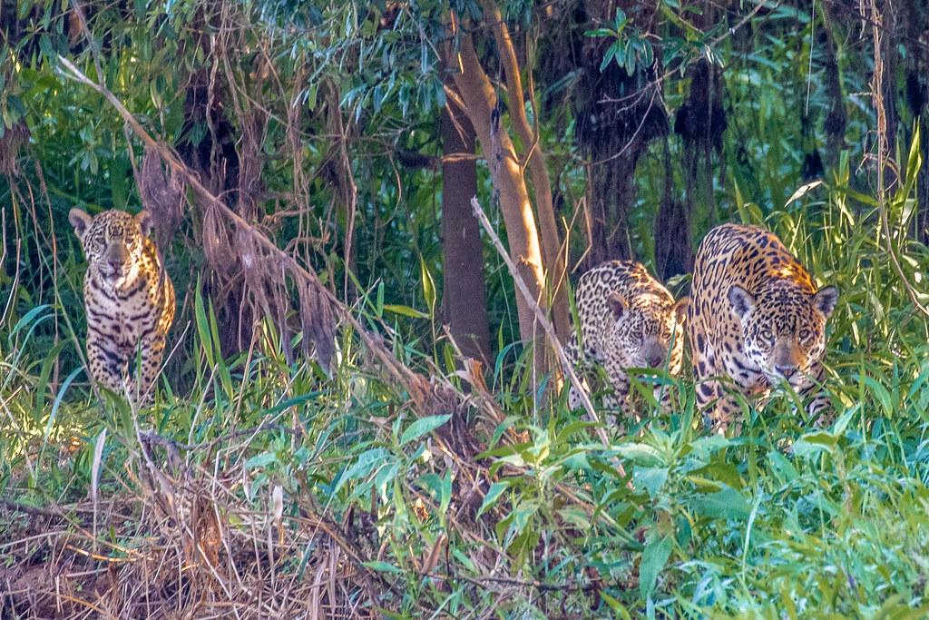 Jaguar family running toward me in the Pantanal