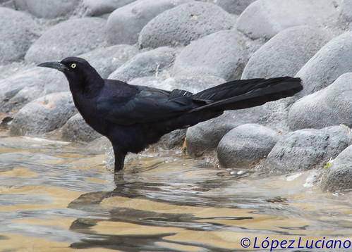 "ZANATE MACHO PREVIO AL ""CHANATAZO"".(Quiscalus mexicanus).GREAT TAILED GRACKLE. 