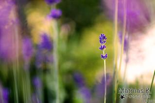 Lavendel | Projekt 365 | Tag 184